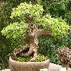 AcerBuergerianum4.jpg 1024 x 768 px 285.17 kB