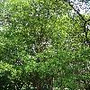 AcerBuergerianum.jpg 681 x 908 px 538.49 kB