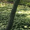 AcerCapillipes3.jpg 1204 x 903 px 150.58 kB