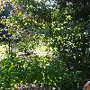 AcerCarpinifolium3.jpg 681 x 908 px 274.12 kB