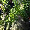 AcerCarpinifolium4.jpg 1219 x 914 px 389.92 kB