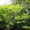 AcerCarpinifolium5.jpg 681 x 908 px 520.26 kB