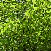 AcerCarpinifolium6.jpg 1024 x 768 px 296.06 kB