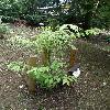 AcerCarpinifolium.jpg 630 x 840 px 184.85 kB