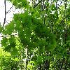 AcerCircinatum2.jpg 1024 x 768 px 249.71 kB