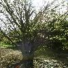 AcerCissifolium3.jpg 638 x 850 px 192.04 kB