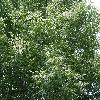 AcerNegundoAureomaculatum2.jpg 1024 x 768 px 353.87 kB