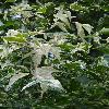 AcerNegundoAureomaculatum3.jpg 681 x 908 px 327.02 kB