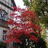 AcerPalmatum10.jpg 1024 x 768 px 283.63 kB