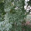 AcerPalmatum3.jpg 1223 x 917 px 345.76 kB