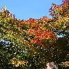 AcerPalmatum4.jpg 681 x 908 px 270.35 kB
