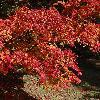 AcerPalmatum8.jpg 1219 x 914 px 392.11 kB