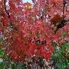 AcerPalmatumAoyagi.jpg 1024 x 768 px 199.71 kB