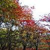 AcerPalmatumAtropurpureum3.jpg 720 x 960 px 506.18 kB