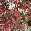 AcerPalmatumCorallinum2.jpg 1127 x 845 px 295.39 kB