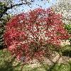 AcerPalmatumCorallinum.jpg 638 x 850 px 214.24 kB