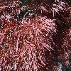 AcerPalmatumDissectumOrnatum3.jpg 1024 x 768 px 309.12 kB