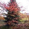 AcerPalmatumElegans2.jpg 720 x 960 px 501.68 kB