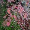 AcerPalmatumElegans3.jpg 1024 x 768 px 256.3 kB