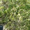 AcerPalmatumFiligree2.jpg 1127 x 845 px 314.43 kB