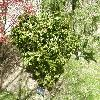 AcerPalmatumKotohime.jpg 1127 x 845 px 359.84 kB
