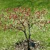AcerPalmatumNigrum.jpg 1127 x 845 px 316.85 kB