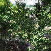 AcerPalmatumShishigashira.jpg 681 x 908 px 460.72 kB