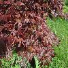 AcerPalmatumTrompenburg.jpg 1024 x 768 px 263.6 kB