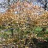 AcerPalmatumWabito.jpg 638 x 850 px 239.66 kB