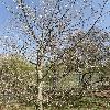 AcerPlatanoidesCrimsonKing.jpg 638 x 850 px 222.65 kB