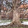 AcerPseudoplatanus4.jpg 576 x 768 px 194.68 kB