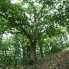 AcerPseudoplatanus7.jpg 630 x 840 px 200.27 kB