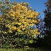 AcerPseudoplatanus8.jpg 642 x 856 px 263.69 kB