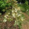 AcerPseudoplatanusLeopoldii2.jpg 1127 x 845 px 274.24 kB