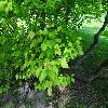 AcerTataricum4.jpg 1024 x 768 px 257.65 kB