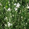 AchilleaMillefolium4.jpg 1127 x 845 px 324.61 kB