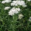 AchilleaMillefolium5.jpg 638 x 850 px 117.44 kB
