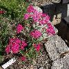 AchilleaMillefoliumSp.jpg 1024 x 768 px 313.02 kB