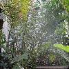 AcrostichumDanaeifolium.jpg 1024 x 768 px 243.93 kB