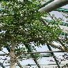 AdansoniaDigitata2.jpg 681 x 908 px 356.76 kB
