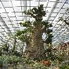 AdansoniaGregorii.jpg 627 x 944 px 395.19 kB