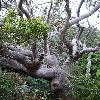 Adansonia.jpg 636 x 848 px 184.75 kB