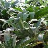 AechmeaBromeliifolia.jpg 681 x 908 px 306.46 kB