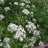 AegopodiumPodagraria5.jpg 1127 x 845 px 273.54 kB