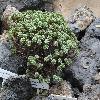 AeoniumSedifolium.jpg 1204 x 903 px 329.05 kB