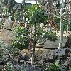 AeoniumUrbicum.jpg 681 x 908 px 407.39 kB