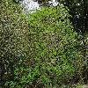 AesculusCalifornica.jpg 1200 x 900 px 593.67 kB