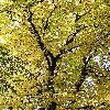AesculusHippocastanum6.jpg 576 x 768 px 223.02 kB