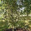 AesculusHippocastanumLaciniata.jpg 576 x 768 px 215.05 kB