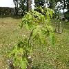 AesculusNeglectaErythroblastos.jpg 1127 x 845 px 280.19 kB